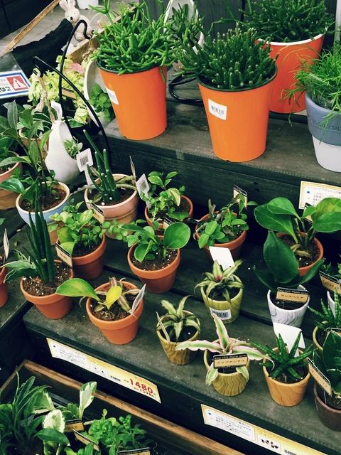 ホームセンター ダイキの観葉植物コーナー