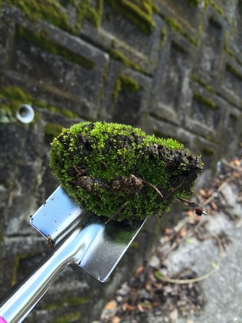 家の近くで苔採取