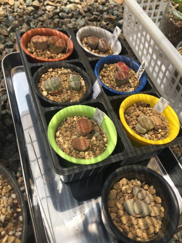 リトープス 多肉植物 魔玉もあります