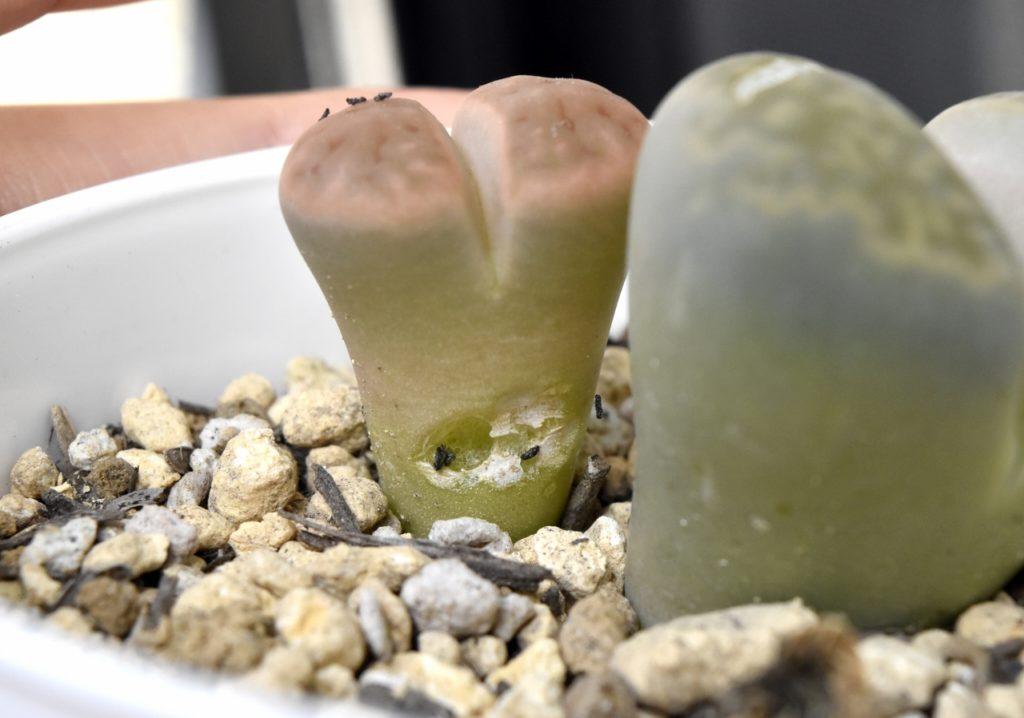 多肉植物リトープスの脱皮
